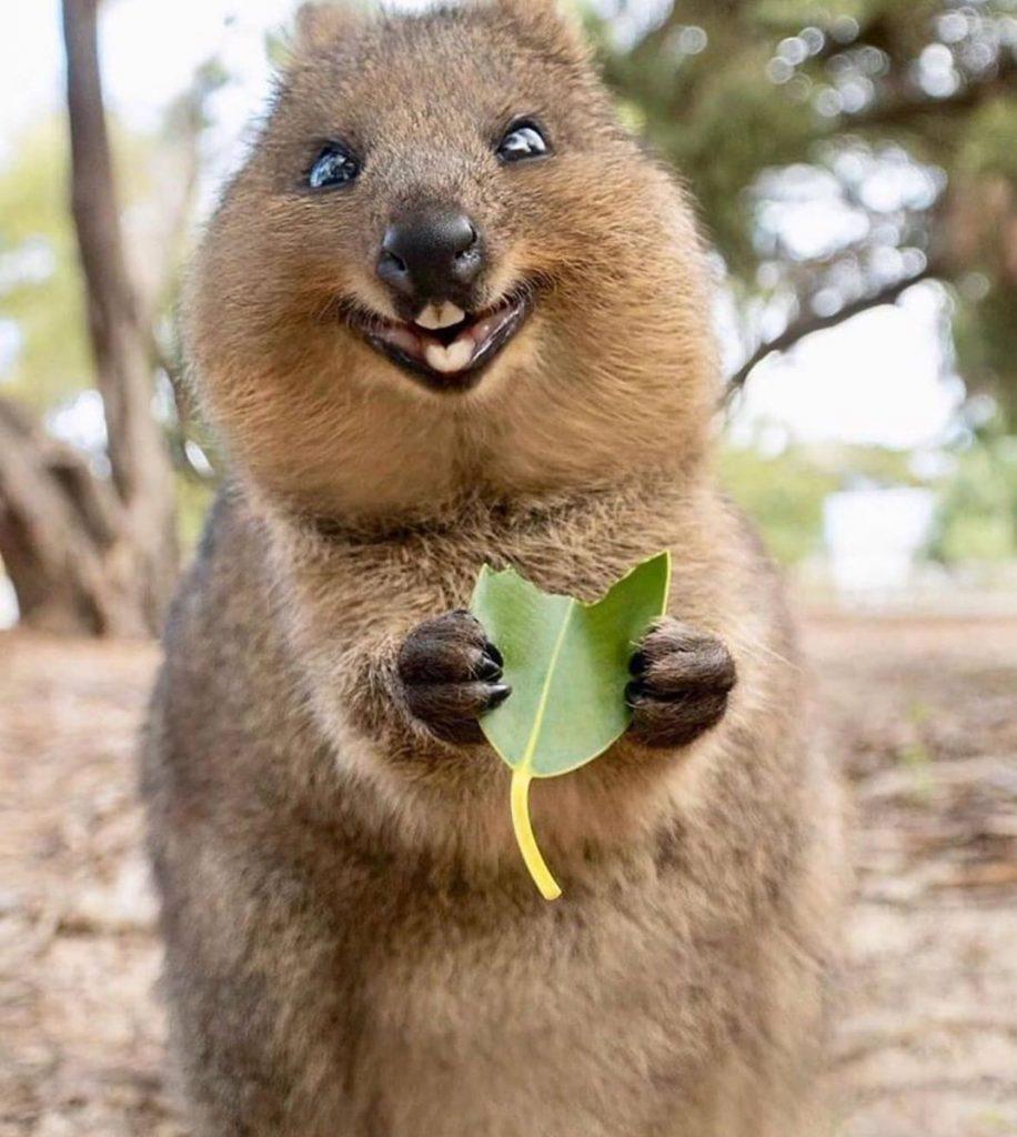 le souriant quokka en train de déjeuner